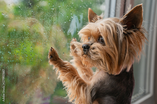 Wallpaper Mural The dog looks out the window, the rain outside the window, the Yorkshire terrier