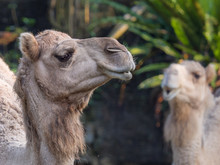 Closeup Face Of Arabian Camel ...