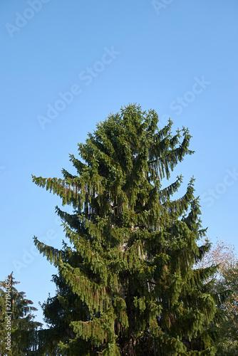 Picea abies Wallpaper Mural