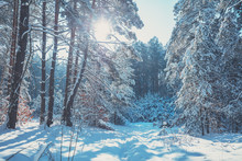 Winter Pine Forest Covered Wit...