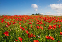 There Are Thousands Of Red Poppies Standing On A Meadow, The Sun Is Shining And There Are White Clouds In The Blue Sky