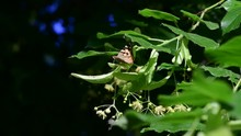 Vanessa Cardui Butterfly On Linden Tree Flowers Macro 4k Video