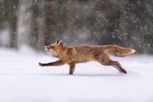 Red Fox Running On Snowy Landscape