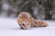 Red Fox (Vulpes Vulpes), Feedi...
