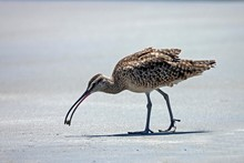 Long-billed Curlew (Numenius A...