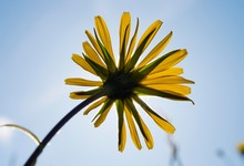 Meadow Salsify (Tragopogon Pratensis) Flower, Upper Bavaria, Bavaria, Germany, Europe