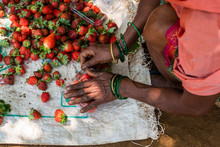 Netravali,Goa/India- March 21 2019: Strawberries Being Sorted And Packaged For Sale At A Farm In Goa, India