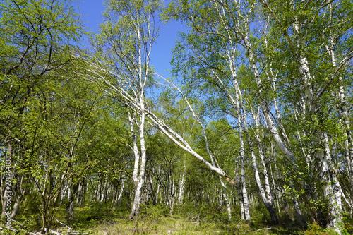Fényképezés 折れて倒れそうな白樺のある林の風景