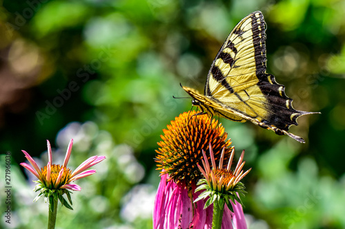 Eastern Tiger Swallowtail Butterfly on a Coneflower Wallpaper Mural