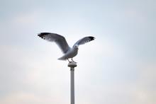 Seagull Ready To Flight
