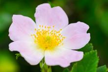 Macro Photo Of A Cherokee Rose (rosa Laevigata) In Full Bloom