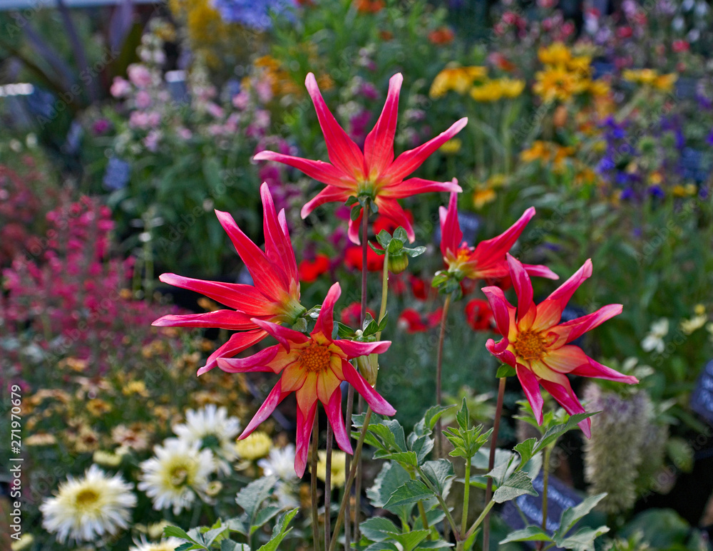 Dahlia 'Honka Surprise' close up in a flower border