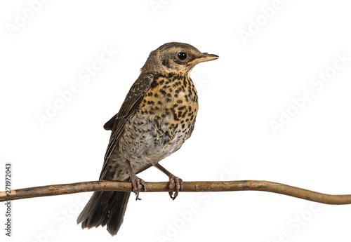 Obraz na plátně Fledgling thrush fieldfare sitting on a branch