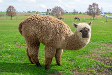 A Wooly Brown Alpaca Performing For The Camera