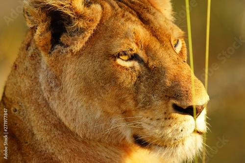 Löwenweibchen auf der Lauer
