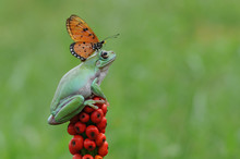 Butterfly On Top Of A Frog On A Plant, Indonesia
