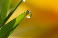 Reflection Of A Flower In A Dew Drop, India