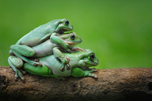 Three Frogs Sitting On Top Of Each Other, Indonesia