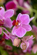Leinwanddruck Bild - Close up of  beauty pink orchid flower