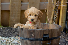 The F1b Mini Goldendoodle Is Produced By Crossing A F1 Goldendoodle (which Is Half Golden Retriever And Half Standard Poodle) With A Mini Poodle.