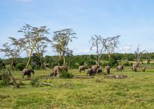 African Elephants (loxodonta Africana) In The Plain, Laikipia County, Mount Keny, Kenya