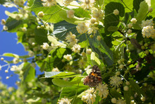 A Butterfly Sits On A Linden F...