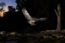 Tawny Owl Flying In The Forest At Night, Spain