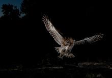 Tawny Owl In Flight, Spain