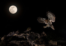 Tawny Owl Flying In Sky At Night