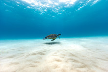 Turtle Swimming Near The Seabed, Queensland, Australia