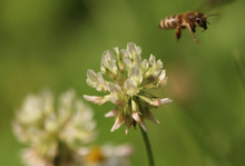 White Clover Flower And Bee