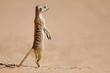 Leinwandbild Motiv Alert meerkat (Suricata suricatta) standing on guard, Kalahari desert, South Africa.