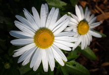 Macro Of Two Daisy Flowers Wet After Summer Rains