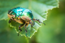 Cetonia Aurata, Called The Rose Chafer Or The Green Rose Chafer. A Beetle On A Green Leaf.