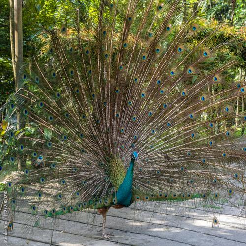 Tuinposter Pauw Bird park Taman Burung in Kuala Lumpur
