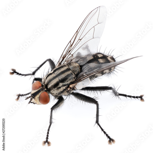 A macro shot of fly isolated on white background. Back view of house fly insect. Full depth of field.