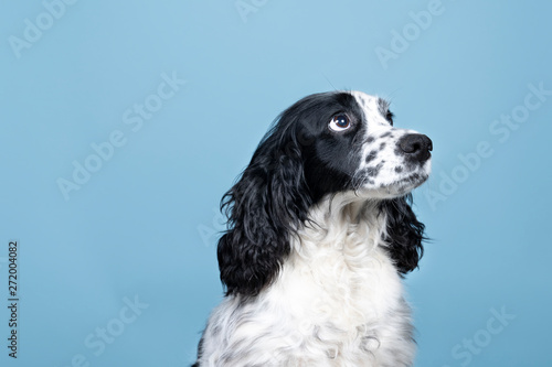 Portrait of an english cocker spaniel looking up on a blue background Canvas-taulu