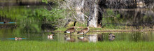 Canada Geese And Ducks In A Ma...