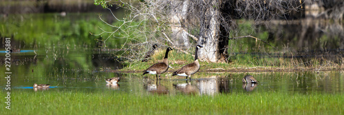 Canada Geese and Ducks in a marsh in spring, with reflections Fotobehang