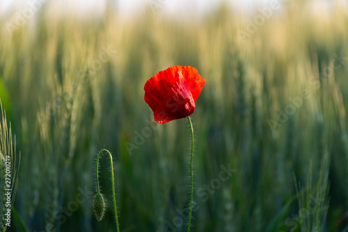 Poster Klaprozen Red poppy in wheat