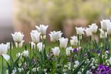 Fototapeta Kwiaty - Rabata