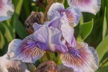 Lavender Blue Iris