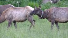 Group Of Elk In Cataloochee Va...