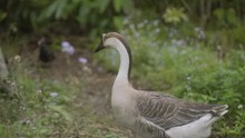 Closeup On Chinese Goose Walki...