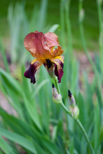 Macro View Of A Beautiful Deep Red Bearded Iris Flower In Bloom