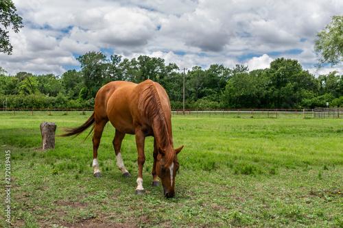 Brown Horse with White Blaze Grazing in a Ranch Pasture