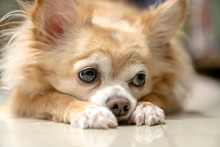 Boring Brown Furry Chihuahua D...