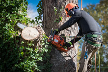 Man In Safety Harnesses And Helmet Cuts Down Large Tree Sections With Chainsaw.