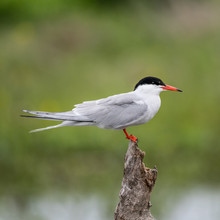 Close Up Isolated Common Tern ...