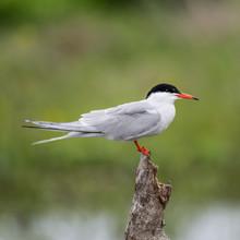 Close Up Isolated Common Tern Seagull In The Wild- Danube Delta Romania